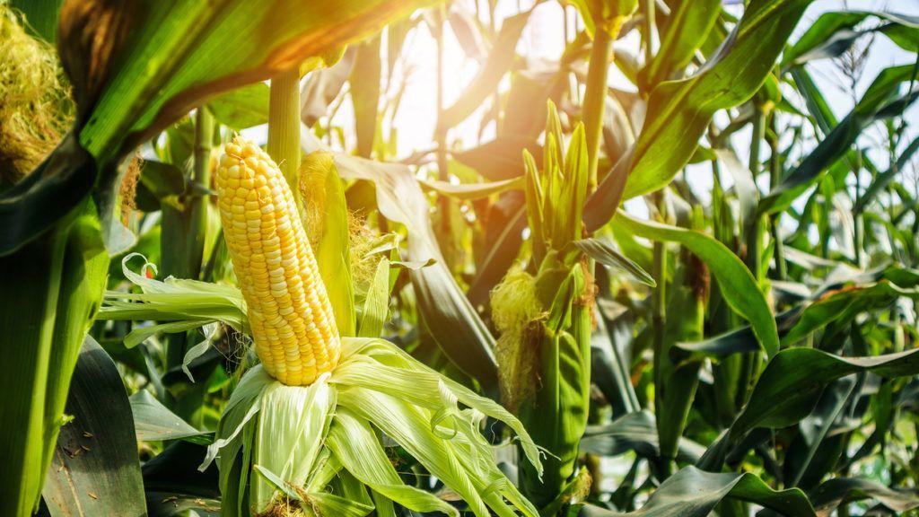 fogyás kukorica)