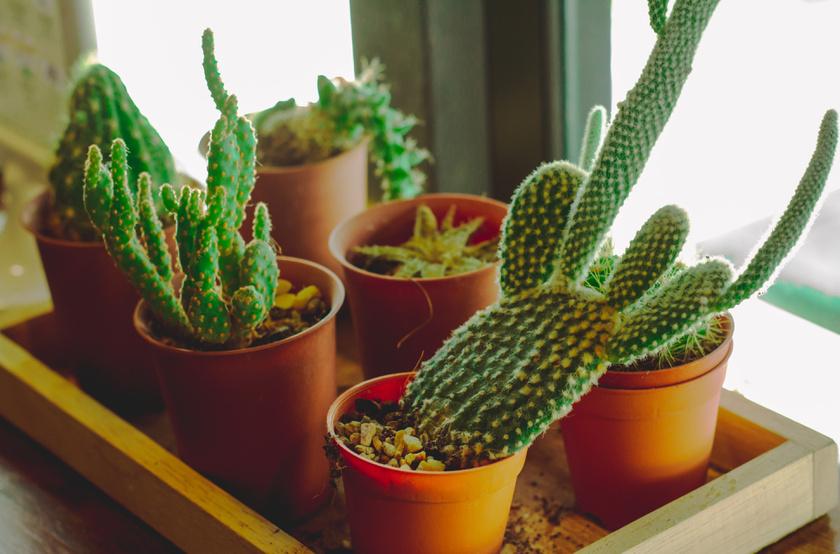 kaktusz jó fogyni