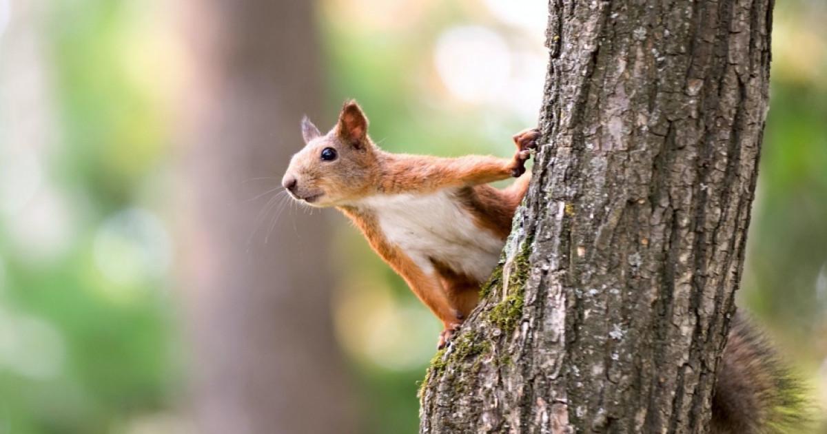 Fogyás mókus. Vörös farok – Mókusok a városban