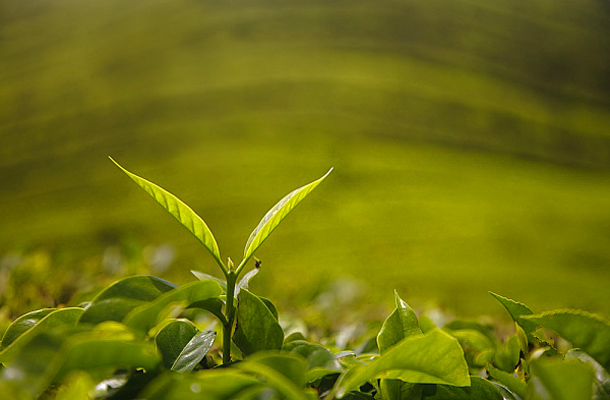 melyik tea a legjobb a fogyáshoz)
