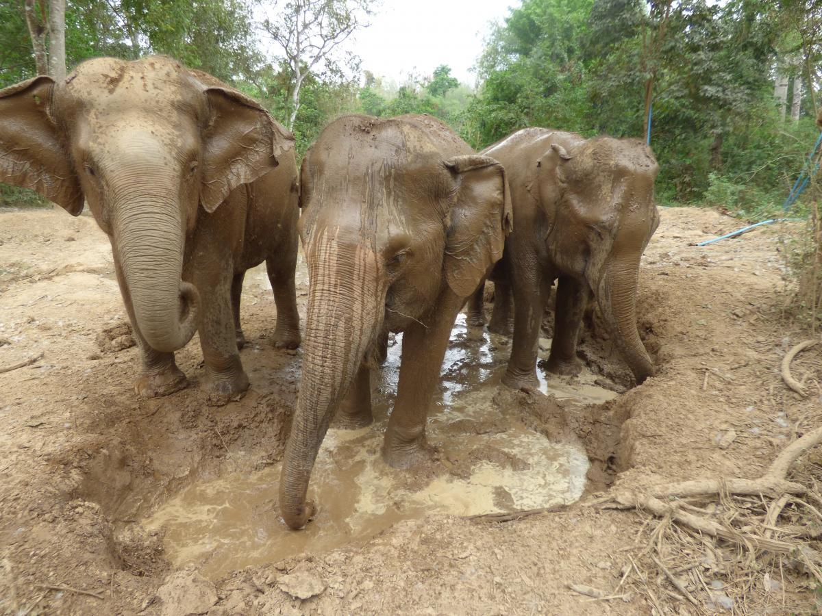 a repülő elefánt fogyókúrás tea előnyei