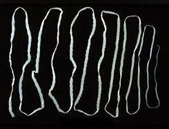 galandféreg fogyás eredményei)