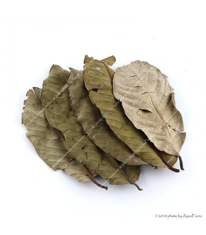 guava fa levelek a fogyáshoz