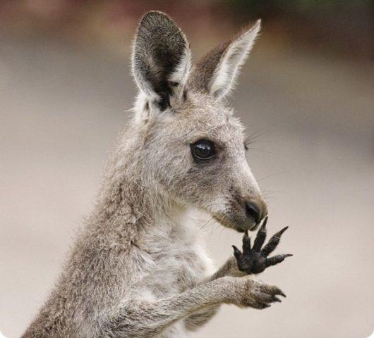 kenguru tasak fogyás